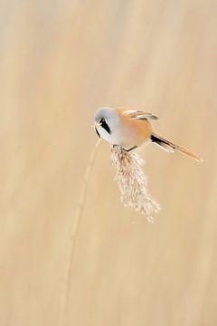 Bartmeise ( Panurus biarmicus ), Männchen, auf einer einzelnen Schilfrispe, frisst Samen. von wunderbare Erde