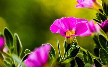 Mini-Petunias van William Mevissen