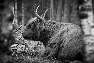 Chillende Schotse Hooglander in monochrome van Jenco van Zalk