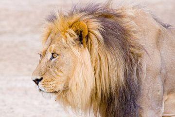 Lion von Studio voor Beeld