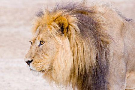 Lion van Studio voor Beeld