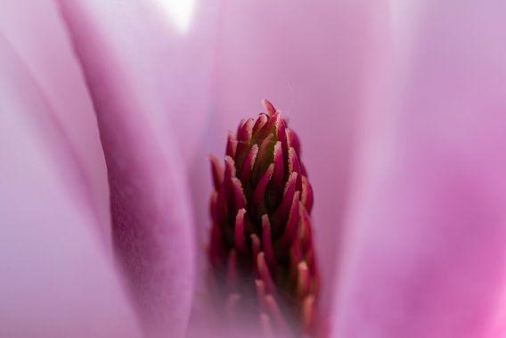Close-up Magnolia
