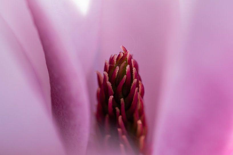 Close-up Magnolia van René van der Horst