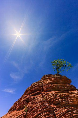 Pinyon Pine Tree on sandstone rock in Zion N.P. USA van Henk Meijer Photography