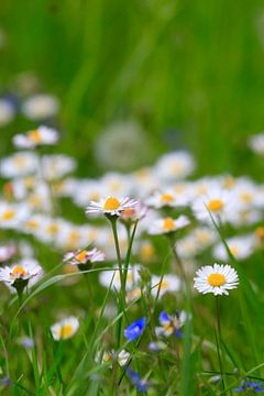 Frühlingswiese von Anette Jäger