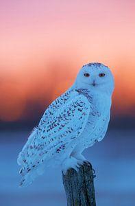 Sneeuwuil (Bubo scandiaca)