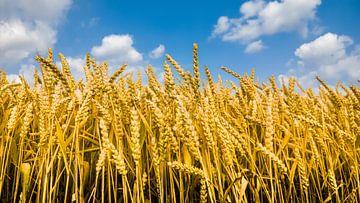 Wheat von rosstek ®
