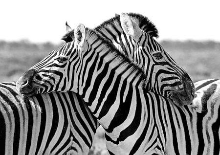 Hugging Zebra's