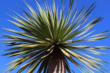 Kanarische Drachenbaumkrone von Ines Porada