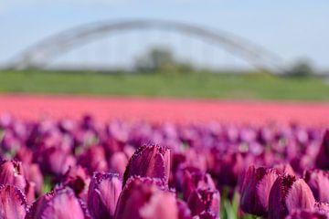 Paarse en roze tulpen von Kim de Been
