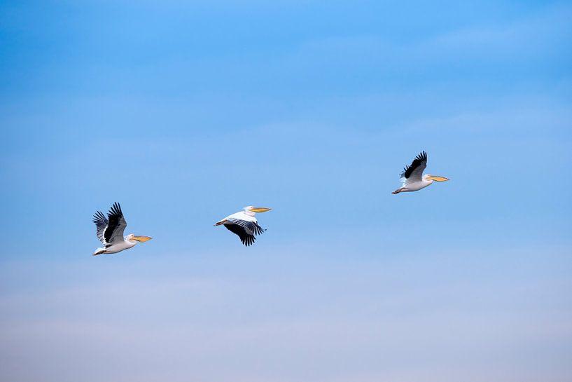 Drie pelikanen van Bart Vodderie