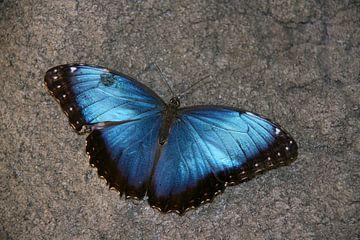Vlinder in de vlindertuin van Diergaarde Blijdorp 4 von Toekie -Art