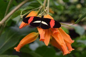 Bunter Schmetterling auf einer Orangenblüte