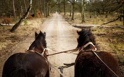 Belgische Trekpaarden voor de huifkar