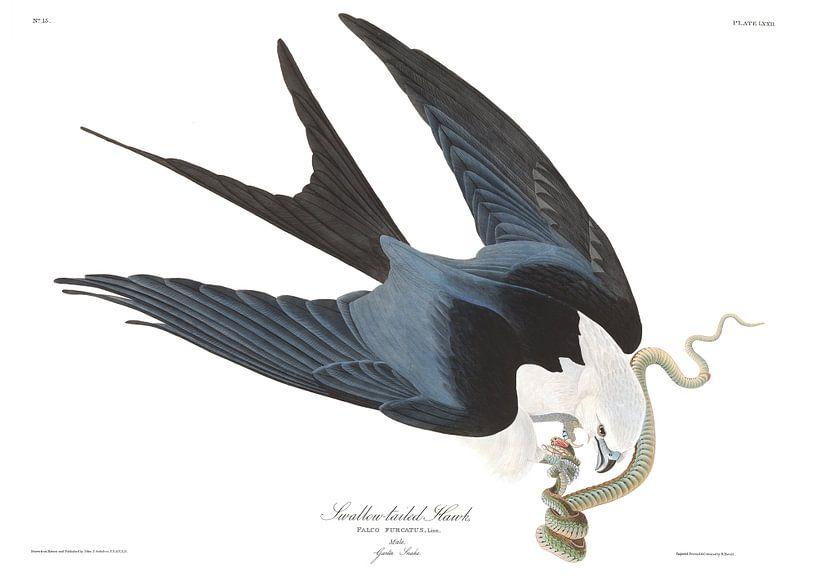 Zwaluwstaartwouw van Birds of America