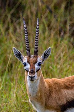 Thompson's gazelle van Peter Michel