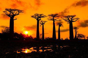 Baobabs zonsondergang silhouet van Dennis van de Water
