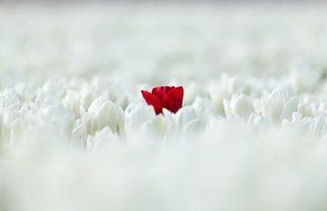 Rot in Weiß von Ton van den Boogaard