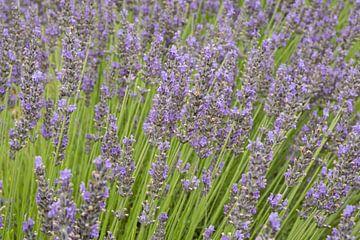 Lavendel in Frankrijk van Harry Kors