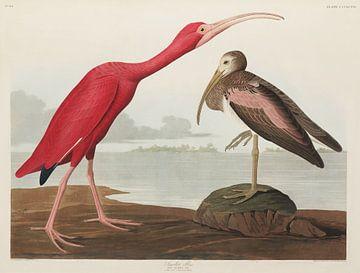 Scarlet Ibis -  Teylers Museum Edition -  Birds of America, John James Audubon van Teylers Museum