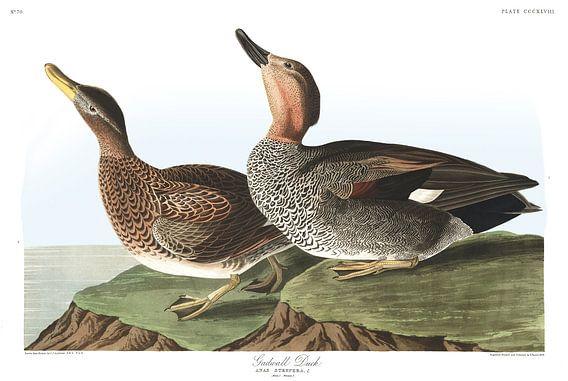 Krakeend van Birds of America