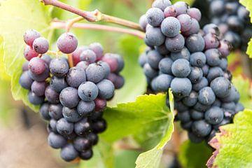 Druiventrossen van de Pinot Noir Druif van Daan Kloeg