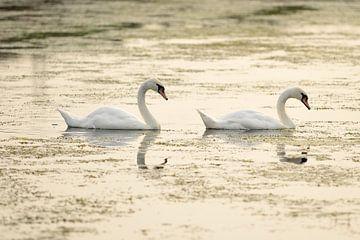 Twee zwanen in het water von