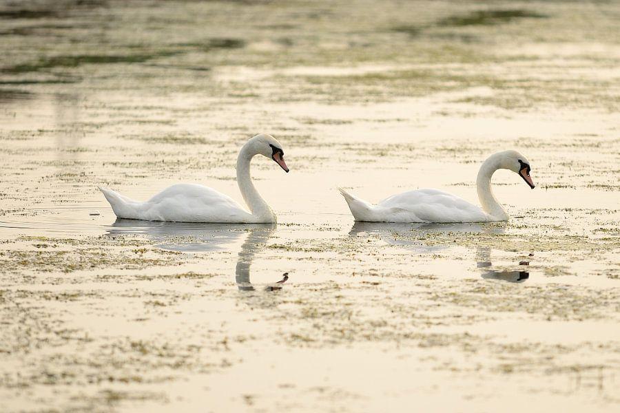 Twee zwanen in het water
