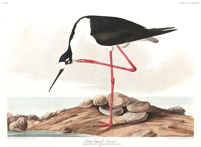 Amerikaanse Steltkluut van Birds of America