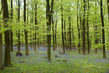 bluebells in Kingswood sur DuFrank Images