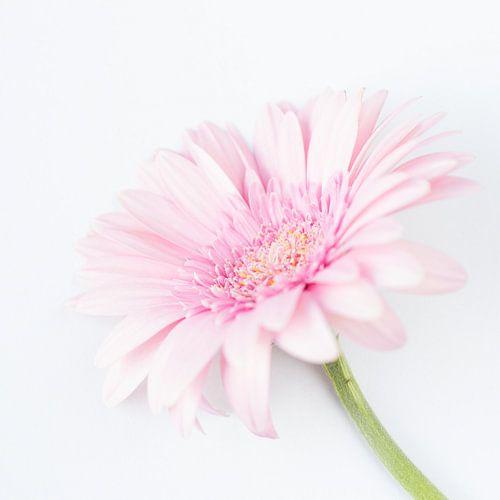 Zacht roze Gerbera bloem