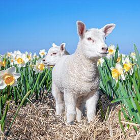 Lammetje en narcissen op Texel. van Justin Sinner Pictures ( Fotograaf op Texel)