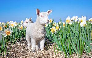 Lammetje en narcissen op Texel. van