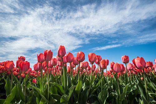 Rode tulpen in het veld van