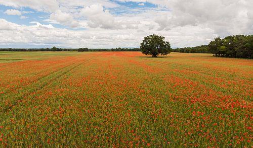 Een veld vol klaprozen van