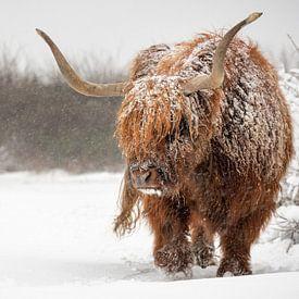 Schottischer Highlander-Stier im Schnee von Richard Guijt Photography