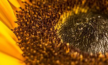 Die Sonnenblume von Ingrid van Wolferen