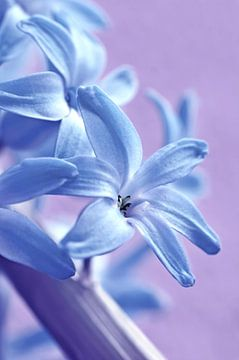 Hyacint van Violetta Honkisz