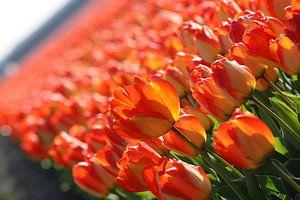 Red/Orange/Yellow Tulip in Lisse (Holland) von O uwehand