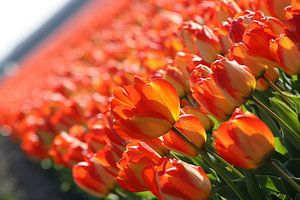 Rode/Oranje/Gele tulpen in Lisse (Holland) van