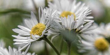 Blume XIII - Gänseblümchen. van Michael Schulz-Dostal