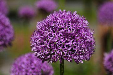 Allium van lieve maréchal