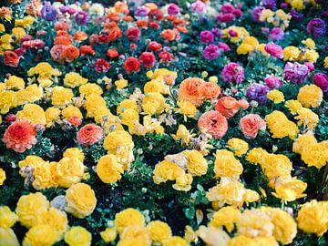 Ranonkelbloemen in alle kleuren von Raisa Zwart