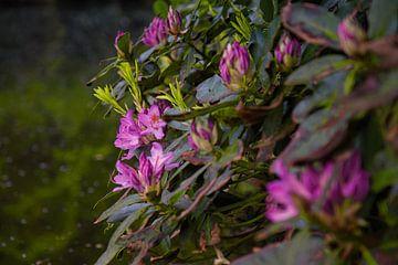 Blühender Rhododendron von Joran Quinten