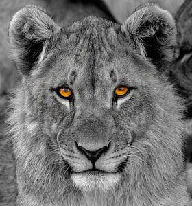 Een portret van een jonge leeuw ( Panthera Leo) die met indringende ogen naar de kijker kijkt. van