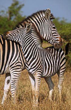 Schmusende Zebras - Afrika wildlife von W. Woyke