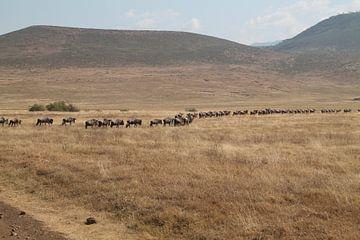 Kudde gnoes in Ngorongoro NP in Tanzania van Tineke Mols