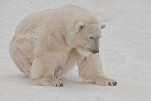 Ein Eisbär auf Schnee ist ein mächtiges nordisches Tier.