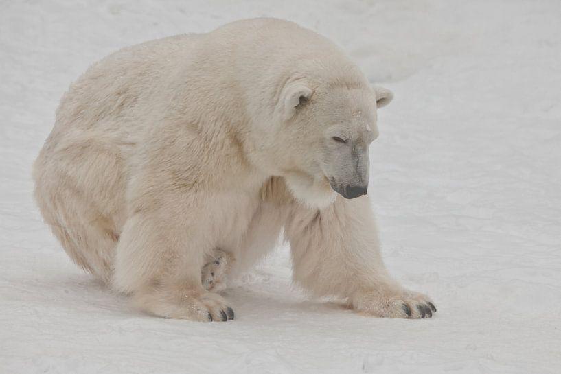 Ein Eisbär auf Schnee ist ein mächtiges nordisches Tier. von Michael Semenov