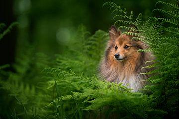 Sheltie is het bos van Elles Rijsdijk